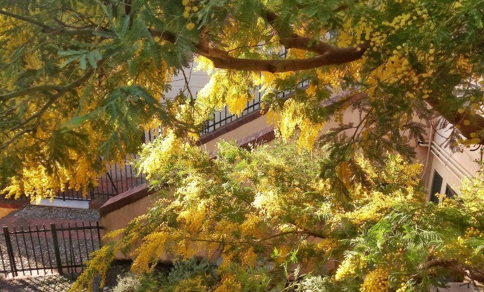 De prachtige mimosa bomen in bloei aan de Italiaanse Riviera